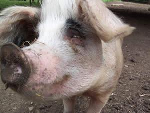 Gloucester Old Spot pig